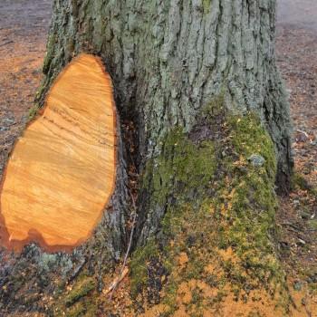Juodalksnis pasižymi oranžinės spalvos mediena