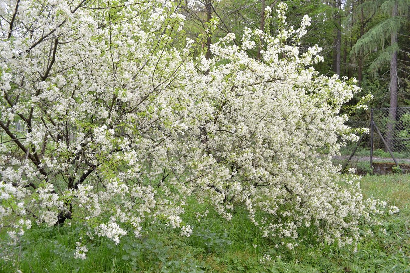 Kvapioji vyšnia (Prunus mahaleb), žiedai