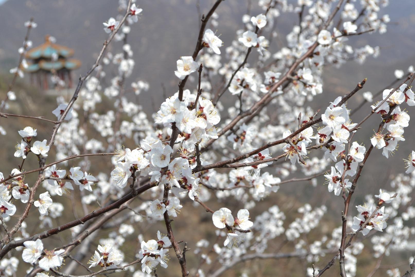 Mandžiūrinis abrikosas (Prunus mandshurica), žiedai