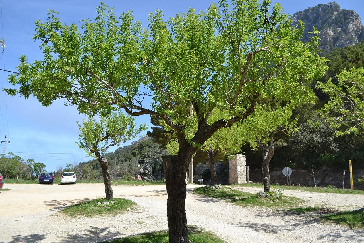 Paprastasis migdolas (Prunus dulcis)